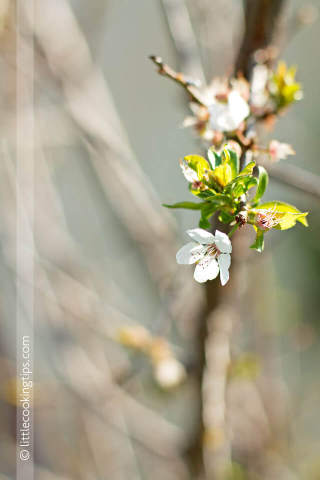 Little Cooking Tips Wild Plum Tree